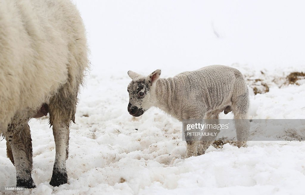 A lamb follows its mother on a snow covered field in the hills of Dromore, Northern Ireland, on March 26, 2013. A Royal Air Force (RAF) helicopter was deployed in Northern Ireland in a bid to reach remote farms where estimates suggest up to 10,000 animals have been buried beneath snowdrifts 20 feet (six metres) high. Thousands of cattle and sheep are already feared to have died in the cold at the height of the lambing season. The bad weather has claimed at least two lives on the British mainland. AFP PHOTO / PETER MUHLY