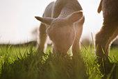 Lamb grazing in grass