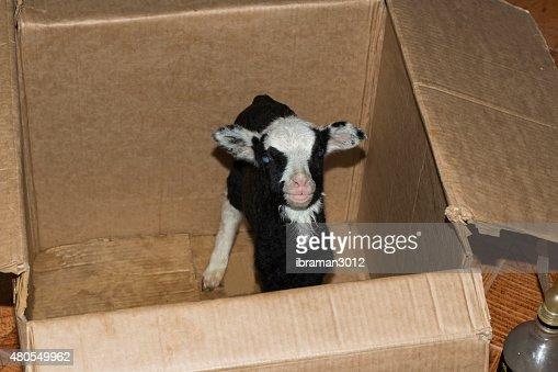 Cordero en una caja : Foto de stock