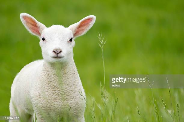 Lamb in a meadow