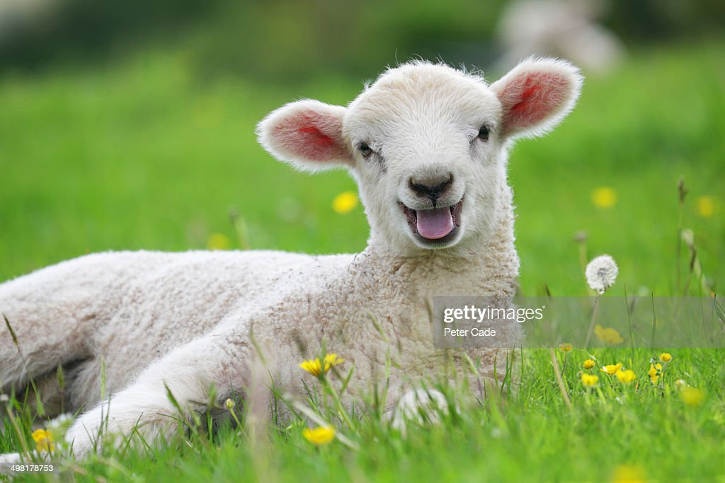 Lamb in field with buttercups