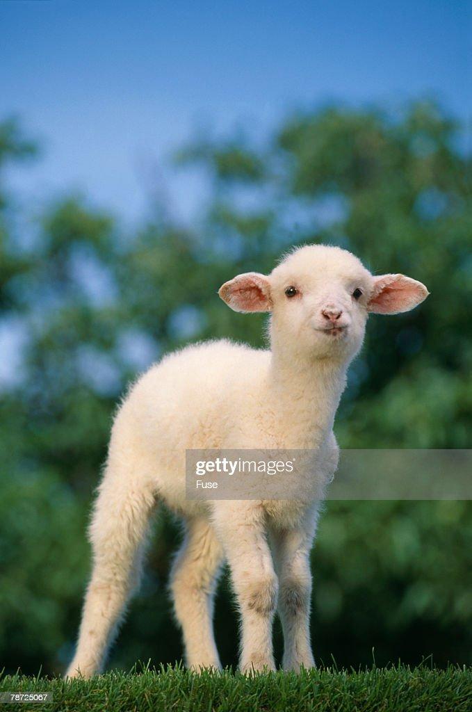 Lamb in Grass
