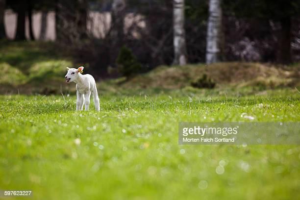 Lamb in pasture