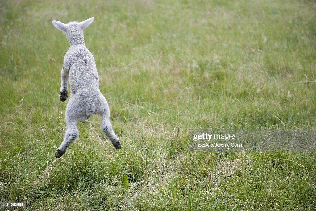 Lamb jumping, rear view
