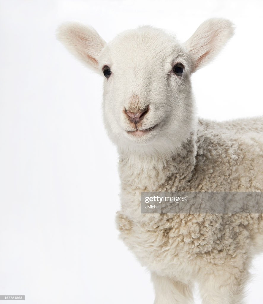 Lamb looking at camera on a light background.