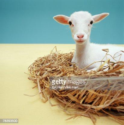 Lamb lying in nest : Stock Photo