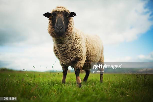 Lamb, New Zealand meadow