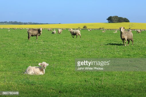 A lamb sitting on green grass. Sheep in background
