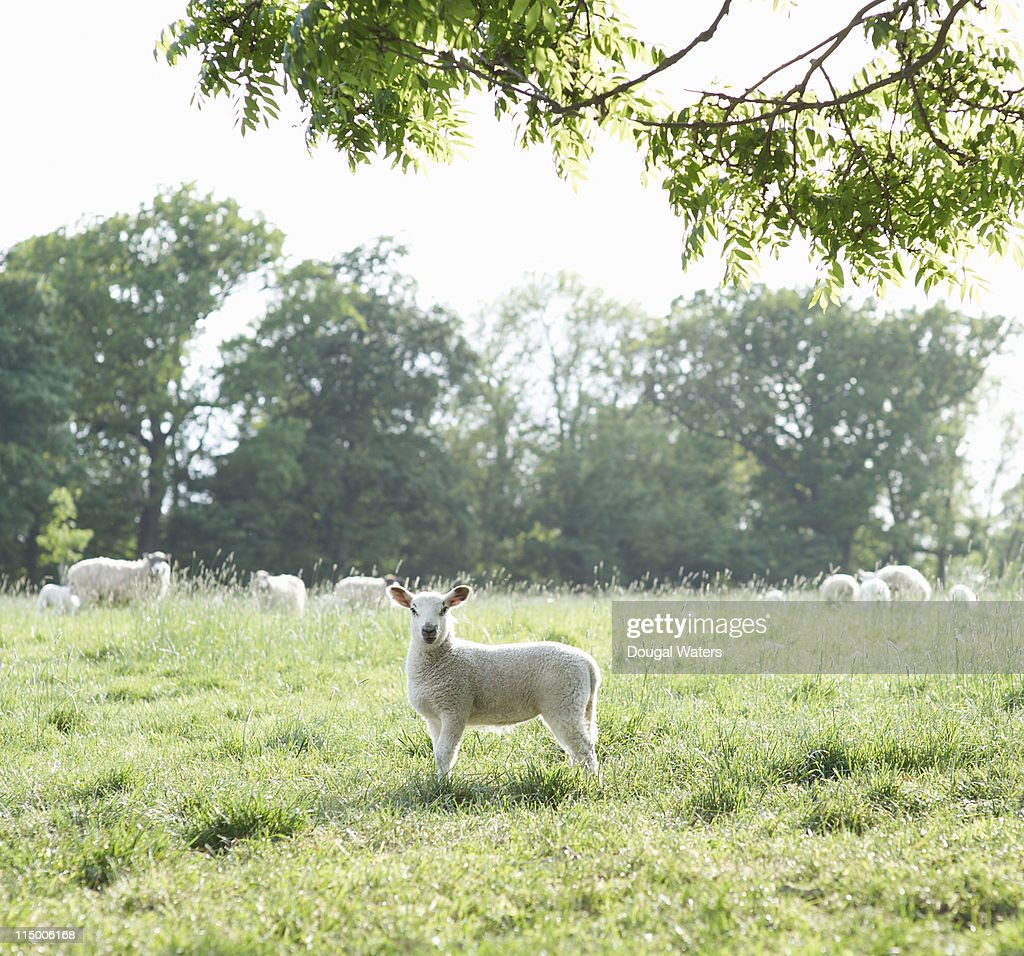 Lamb standing alone in meadow. : Stock Photo