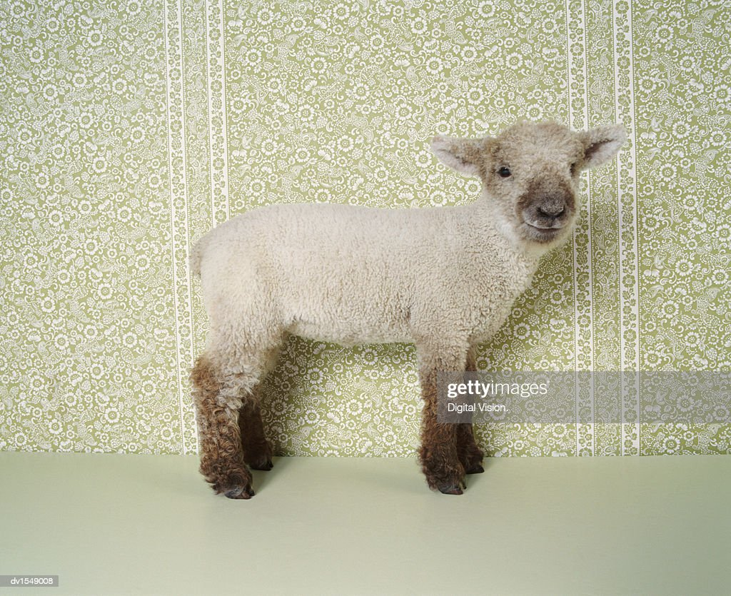 Lamb Standing Indoors, and Floral Wallpaper : Stock Photo