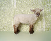 Lamb Standing Indoors, and Floral Wallpaper