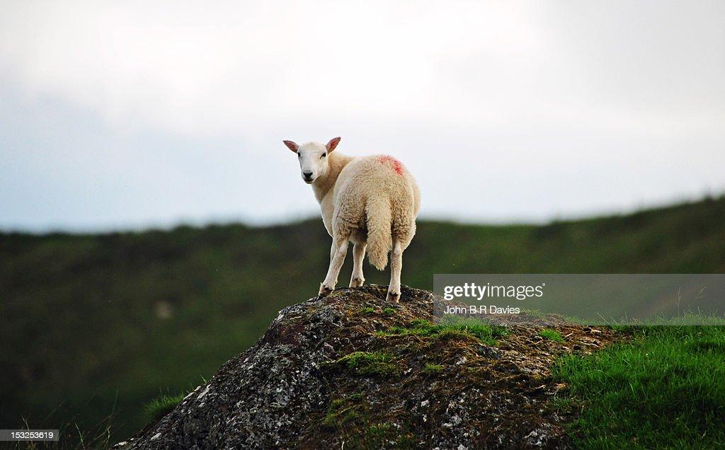 Lamb standing on high peak : Stock Photo