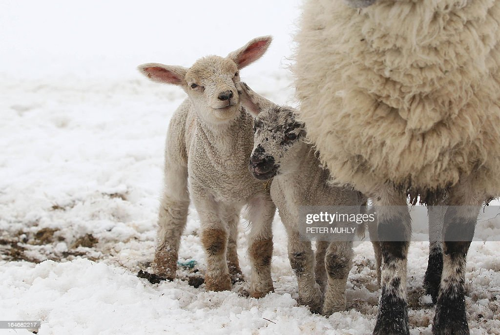 Lambs are pictured on snow covered fields in the hills of Dromore, Northern Ireland, on March 26, 2013. A Royal Air Force (RAF) helicopter was deployed in Northern Ireland in a bid to reach remote farms where estimates suggest up to 10,000 animals have been buried beneath snowdrifts 20 feet (six metres) high. Thousands of cattle and sheep are already feared to have died in the cold at the height of the lambing season. The bad weather has claimed at least two lives on the British mainland.
