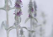 Lambs Ear Plant with Purple Bloom