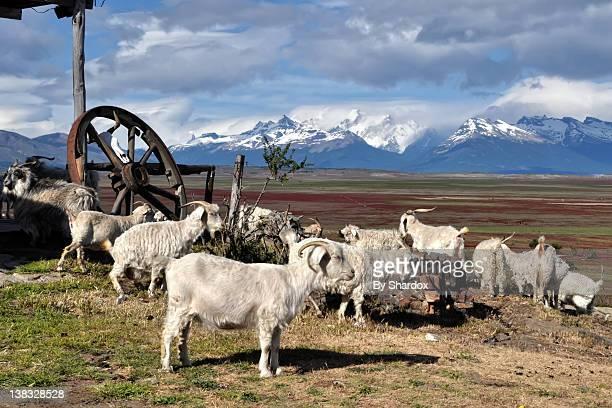 Lambs grazing in field
