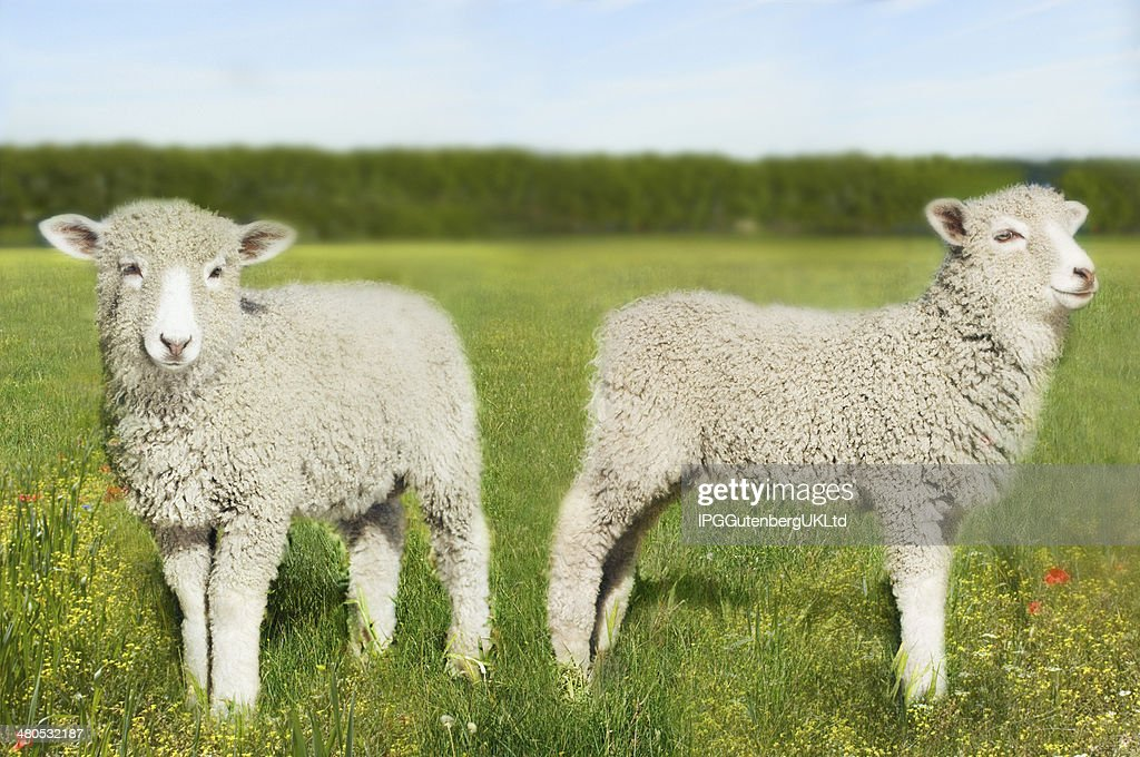 Lambs In Field : Bildbanksbilder