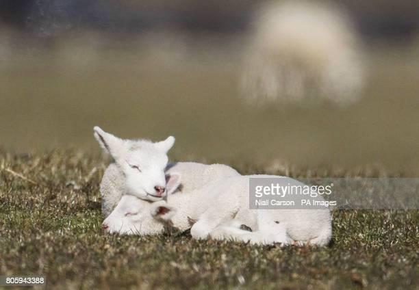 CROP Lambs in Gorey Co Wexford