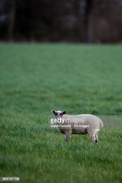 Lambs in long grass in Dorney Buckinghamshire as fine weather continues across the UK