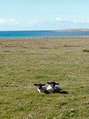Lambs lying in a field, Scotland, UK