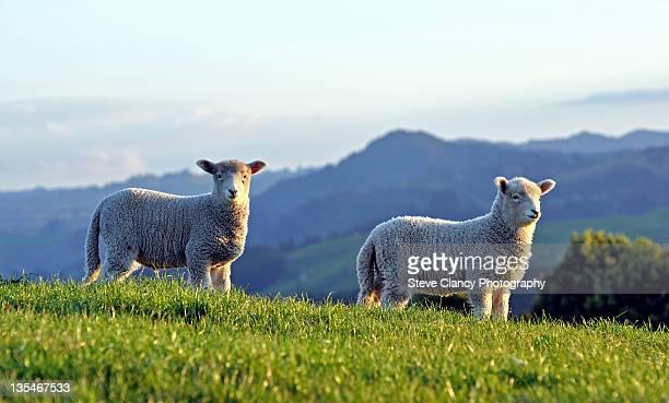 Lambs on Papamoa Hills