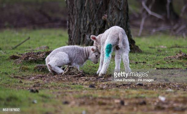 Lambs play in fields in StainesuponThames Surrey as fine weather continues across the UK
