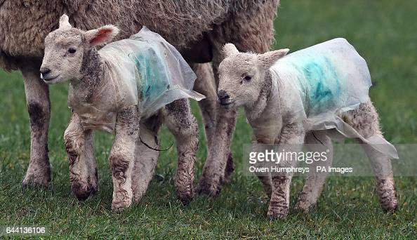 Lambs wearing rain coats in a field in Cumbria near Penrith after Storm Doris reached nearly 90mph on its way to batter Britain