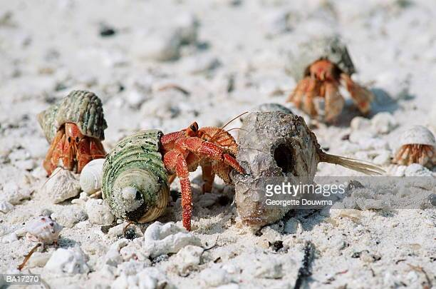 Land hermit crab (Coenobita perlatus) feeding on dead fish