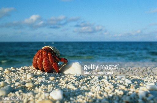 Land hermit crab on beach, ground view, Australia : Stock Photo