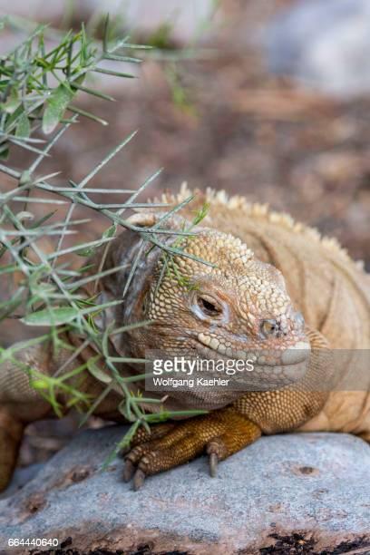 A land iguana at the San Cristobal Island tortoise breeding center in the highlands of San Cristobal Island or Chatham Island in the Galapagos...