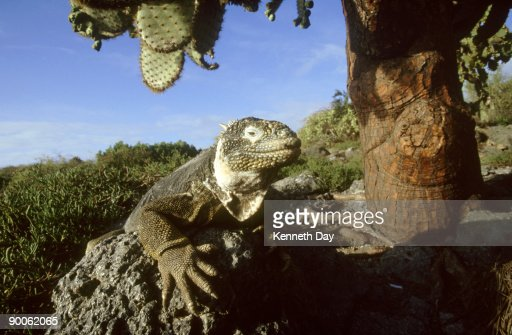 land iguana: conolophus subcristatus,  with opuntia,  galapagos is.