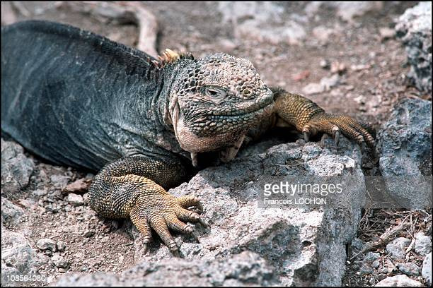Land iguana in Equateur Congo in November 1992