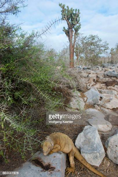 A land iguana is looking for prickly pear cacti on Santa Fe Island in the Galapagos National Park Galapagos Islands Ecuador