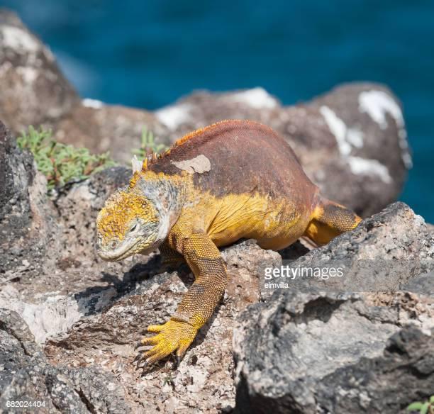 Land Iguana on Isla Plaza, the Galapagos
