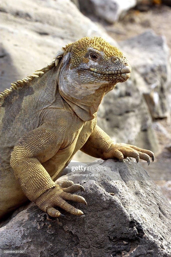 Land iguana (Conolophus pallidus) on rock : Stock Photo
