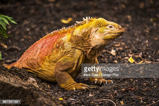 Land iguana (Conolophus subcristatus) sitting on black volcanic rocks