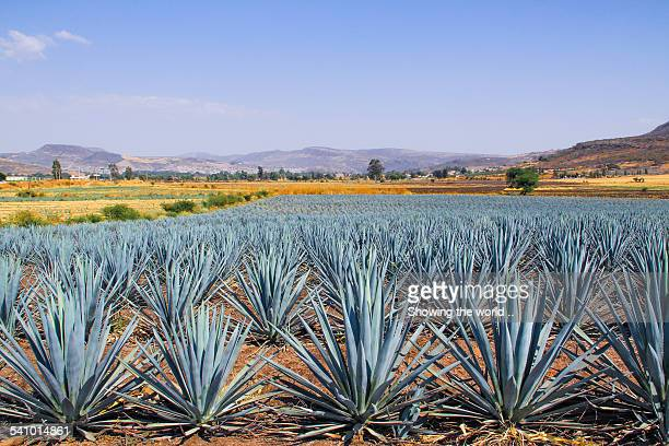 Land of blue agave