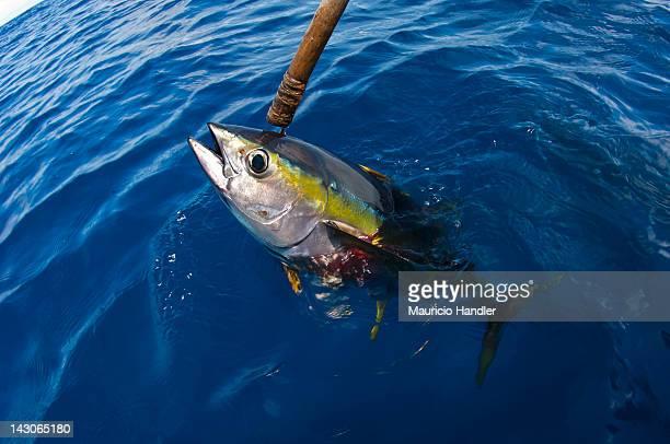 Landing a yellowfin tuna via a traditional single line fishing method.