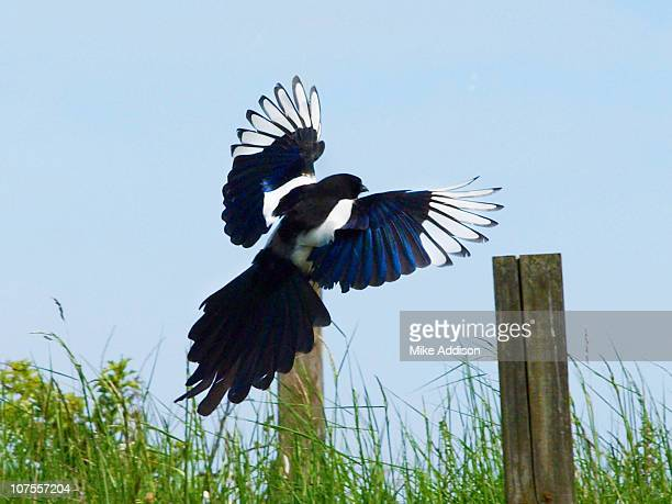 Landing Magpie