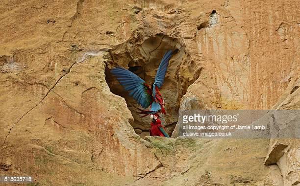 Landing Scarlet Macaw - Amazon, Bolivia