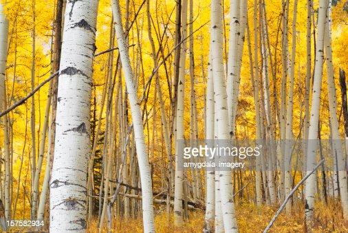 autumn アスペンフォレスト黄色の風景