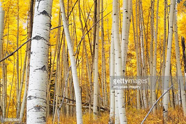 landscape autumn aspen forest yellow