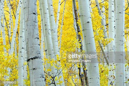 autumn ヤマナラシノキ黄色の風景