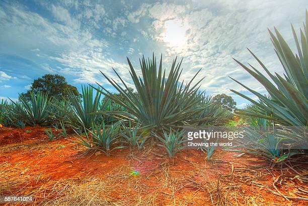 Landscape blue agave in Jesus Maria, Jalisco