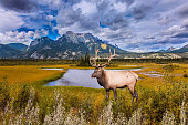 A noble deer with branched horns graze on the shore of a picturesque lake. Grandiose landscape in the Rocky Mountains. The concept of ecological and active tourism