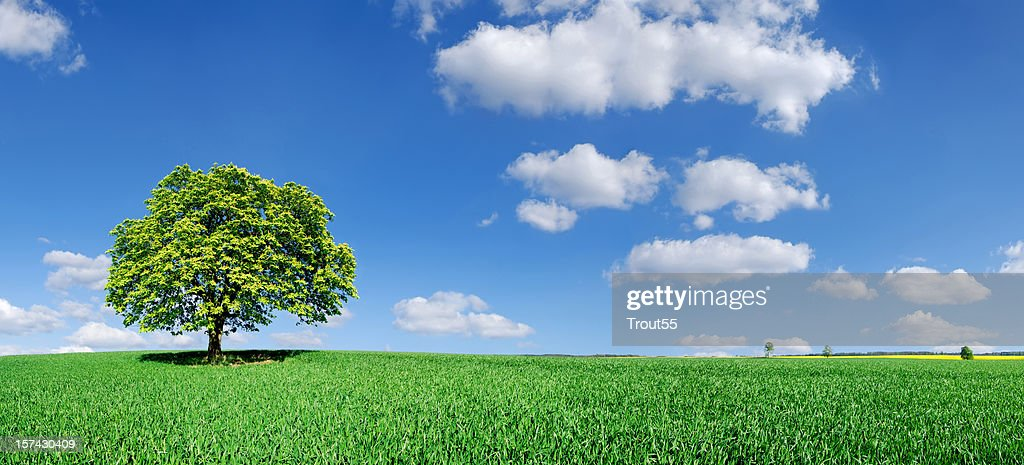 Landscape - Lonely tree on green field : Stock Photo