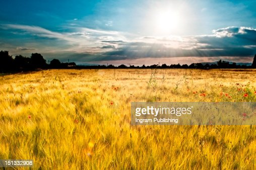 Landscape of a poppy field with dramatic colouring. : Stock Photo