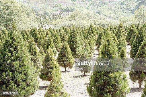 Landscape of Christmas tree farm acreage