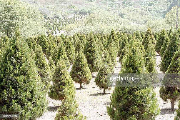 Landscape of Christmas tree farm acreage