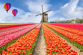 Landscape of Netherlands bouquet of tulips with hot air ballon. Colorful tulips. Tulips in spring and windmills in the Netherlands.