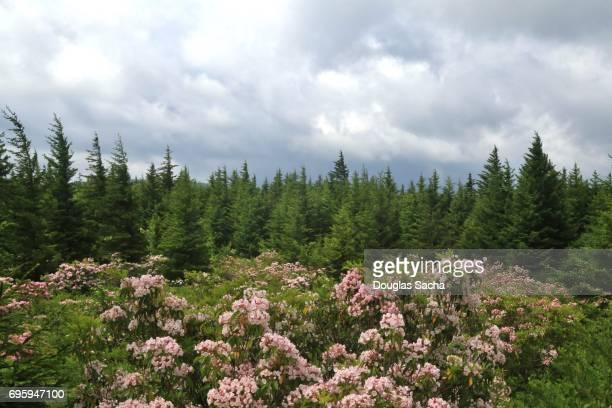Landscape of Red spruce evergreen trees with flowering Azalea shrubs